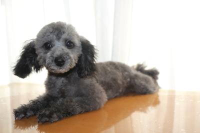 トイプードルシルバーの子犬メス、埼玉県吉川市ラムちゃん画像