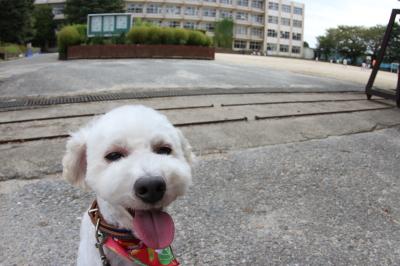 ペットホテルin千葉県トイプードルチップ君from鎌ヶ谷市画像
