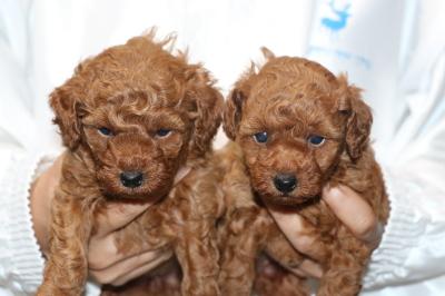 トイプードルレッドの子犬メス2頭、生後4週間画像