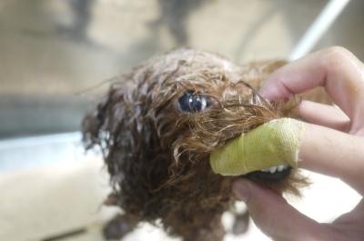 千葉県流山市のトイプードルのハーブ歯磨き画像
