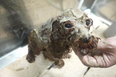 トイプードルブリーダーの成犬,泥パック画像
