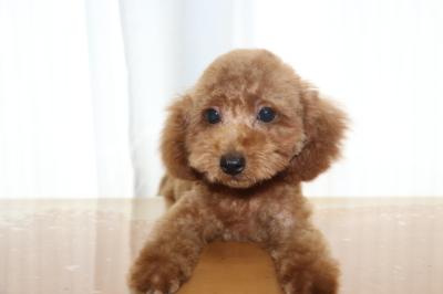 トイプードルレッドの子犬オス、生後4ヵ月画像