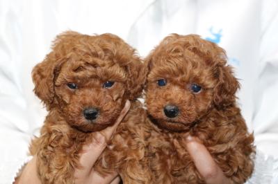 トイプードルレッドの子犬メス2頭、生後5週間画像