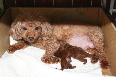 トイプードルレッドの子犬オス1頭メス1頭、生後3日画像