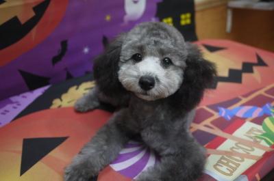タイニーサイズトイプードルシルバーの子犬メス、生後4ヵ月画像