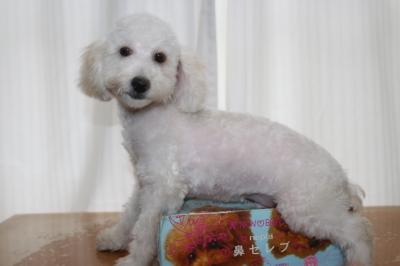 トイプードルホワイト(白)の子犬オス、生後4ヵ月画像