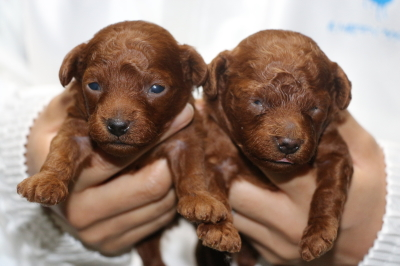 トイプードルレッドの子犬オス1頭メス1頭、生後2週間画像