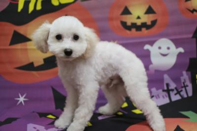トイプードルホワイト(白)の子犬オス、生後3ヵ月画像