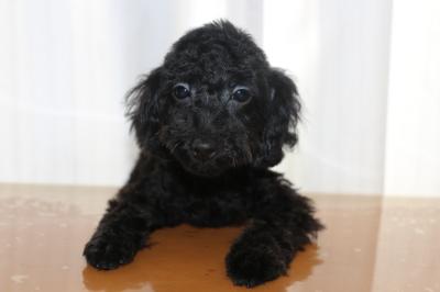 トイプードルブラック(黒)の子犬メス、生後4ヵ月画像