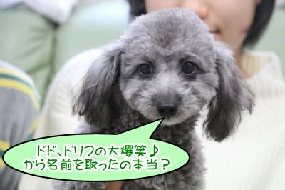 千葉県八千代市トイプードルシルバーの子犬オス画像