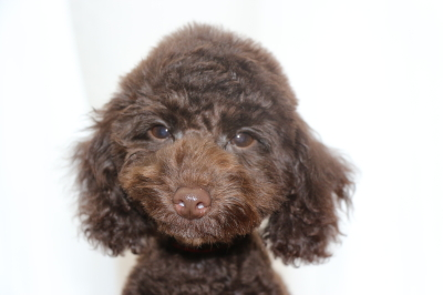 トイプードルブラウンの子犬メス(赤)、生後4ヵ月画像