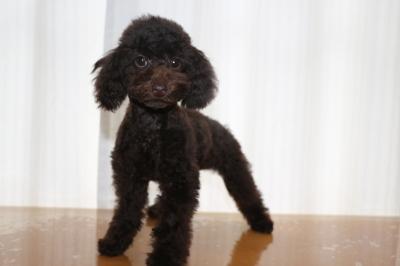 トイプードルブラウンの子犬メス、生後4ヵ月画像