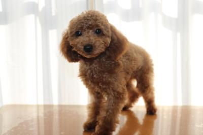 トイプードルレッドの子犬オス、生後5ヵ月画像
