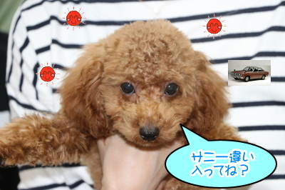 東京都大田区トイプードルレッドの子犬オス、サニー君画像