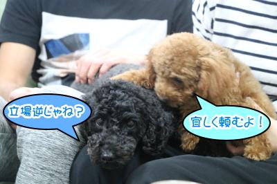 東京都大田区トイプードルブラックとレッドの多頭飼い画像