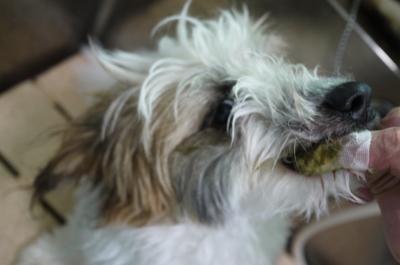 千葉県船橋市のミックス犬のハーブ歯磨き画像