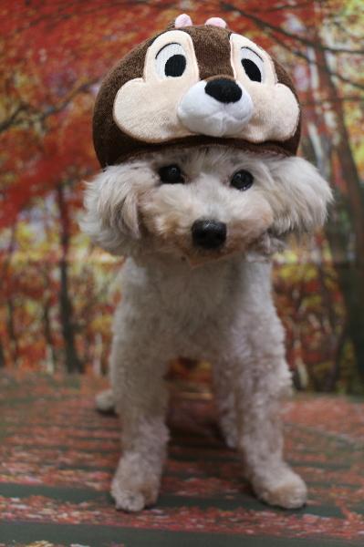 チップ、犬の被り物、トリミング画像