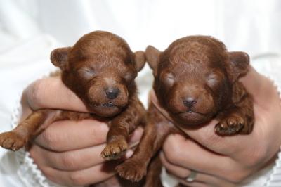 トイプードルレッドの子犬オス1頭メス1頭、生後1週間画像