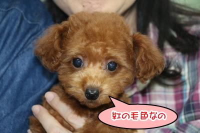東京都江戸川区、タイニープードルレッドの子犬メス、生後2ヵ月画像