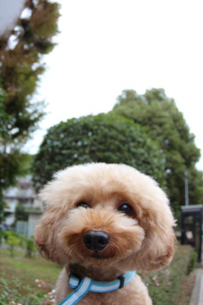 ペットホテルin千葉県トイプードルジンジャー君from市川市画像