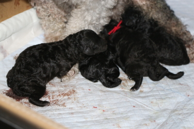 トイプードルシルバーの出産、産まれたばかりのシルバーの子犬画像