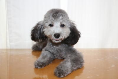 トイプードルシルバーの子犬メス、生後5ヵ月画像