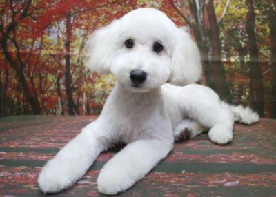 トイプードルホワイト(白)の子犬オス、生後5ヵ月画像