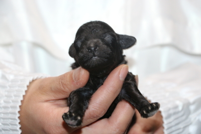 トイプードルシルバーの子犬オス、生後1週間画像