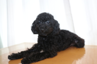 トイプードルブラック(黒)の子犬メス、千葉県船橋市きずなちゃん画像