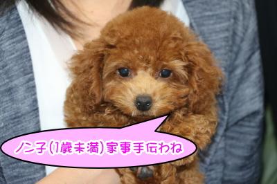 トイプードルレッドの子犬メス、東京都練馬区ノン子ちゃん画像