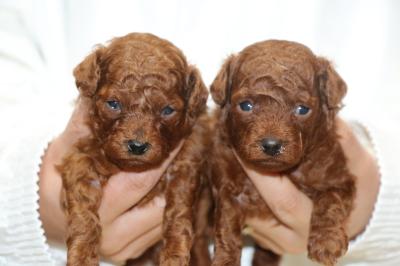 トイプードルレッドの子犬オス2頭、生後3週間画像