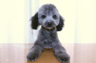 タイニープードルシルバーの子犬オス、生後4ヵ月画像