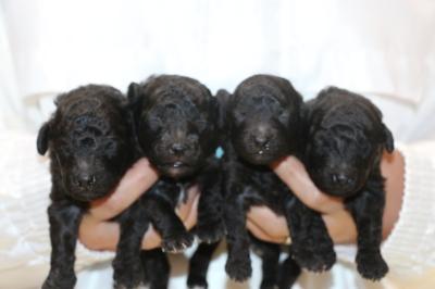 トイプードルシルバーの子犬オス2頭メス2頭、生後2週間画像