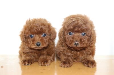 ティーカッププードルレッドオスとタイニーサイズレッドメスの子犬、生後7週間画像