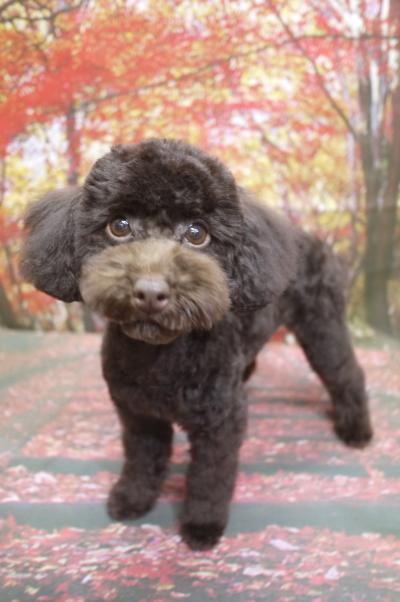 トイプードルブラウンの子犬メス、生後5ヵ月画像