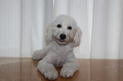 神奈川県川崎市トイプードルホワイト(白)の子犬オス、ハル君画像