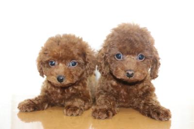 トイプードルレッドの子犬オス1頭メス1頭、生後2ヵ月画像