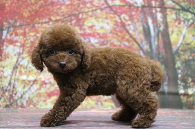 タイニープードルレッドの子犬メス、生後2ヵ月画像