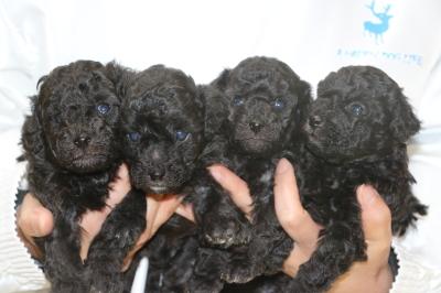 トイプードルシルバーの子犬オス2頭メス2頭、生後4週間画像