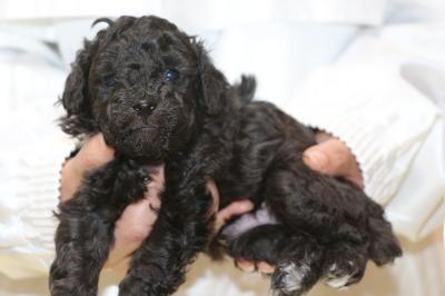 トイプードルシルバーの子犬オス、生後4週間画像