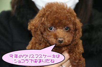 タイニーサイズレッドの子犬メス、東京都足立区、ショコラちゃん画像