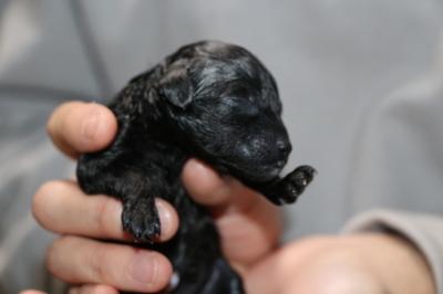 トイプードルブラック(黒)産まれたばかり画像