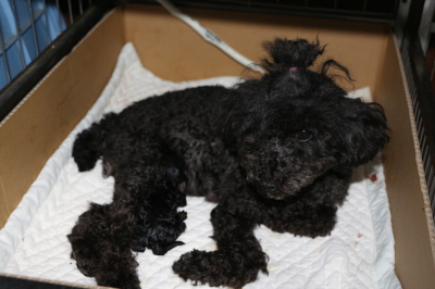 トイプードルブラック(黒)出産画像
