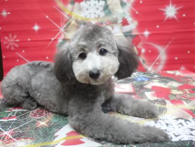 トイプードルシルバーの子犬メス、千葉県館山市はなちゃん画像