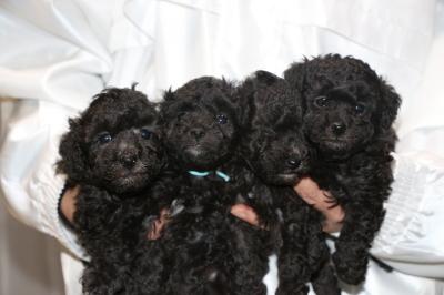トイプードルシルバーの子犬オス2頭メス2頭、生後5週間画像