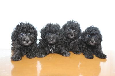 トイプードルシルバーの子犬オス2頭メス2頭、生後6週間画像
