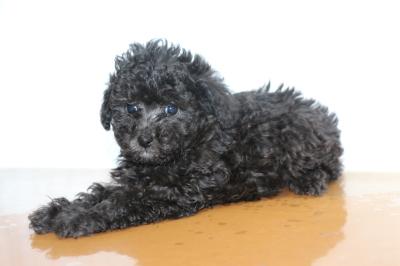 ティーカッププードルシルバーの子犬メス、生後6週間画像