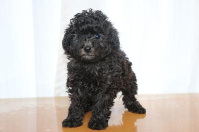 タイニーサイズプードルシルバーの子犬メス、生後6週間画像
