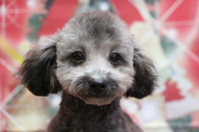 タイニープードルシルバーの子犬オス、生後5ヵ月画像