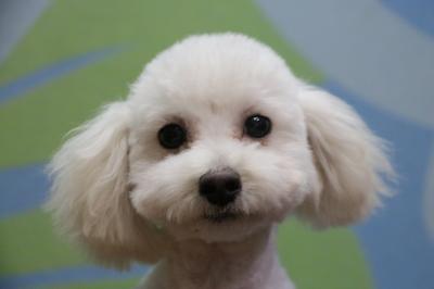 タイニープードルホワイト(白)の子犬オス、生後5ヵ月画像
